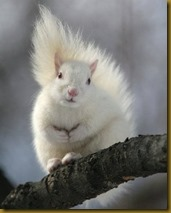 white-squirrel
